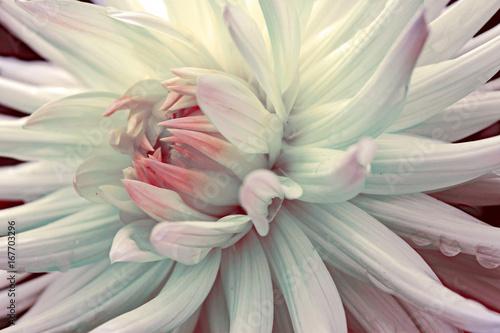 Fototapeta rot-weiße Dahlie mit Regentropfen obraz na płótnie