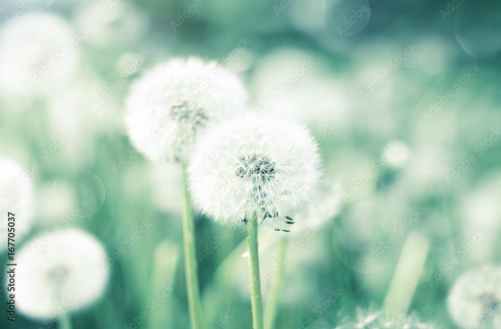 Fototapety, obrazy: Dandelion flower blowballs floral field, soft blurred natural background, green and blue toned.