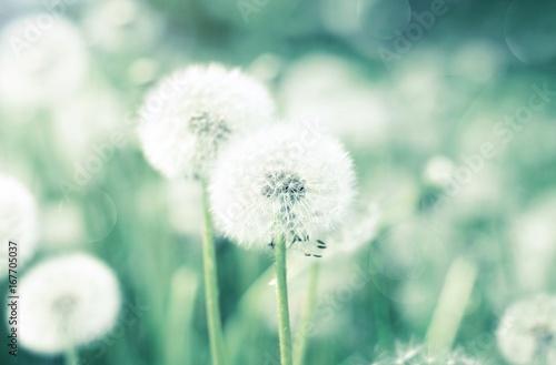 Poster Pissenlit Dandelion flower blowballs floral field, soft blurred natural background, green and blue toned.