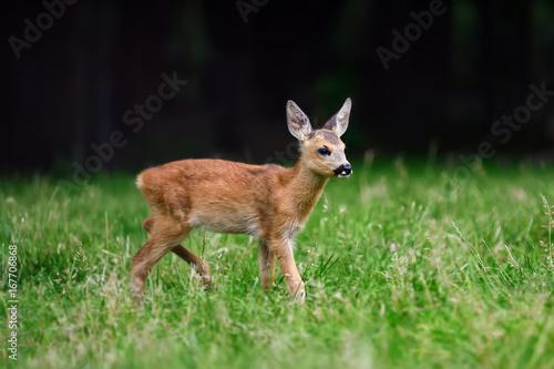 Fotografia Baby roe deer on summer meadow