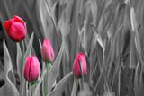 Fototapeta Tulipany - Pink tulips. Black and white photo