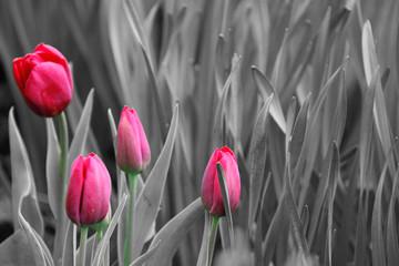Panel Szklany Do sypialni Pink tulips. Black and white photo
