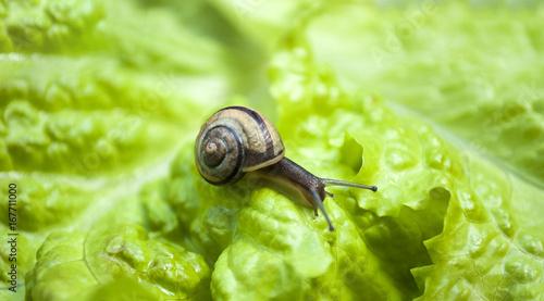 Junge Schnecke auf Salatblatt, Gastropoda