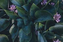 Green Hosta Leaves