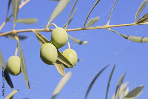 Tuinposter Olijfboom Olive fresh on the tree background.