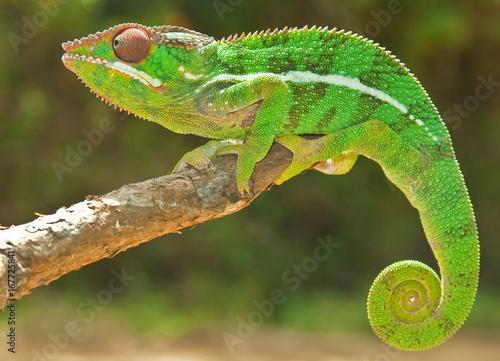 In de dag Kameleon Panther Chameleon, Madagascar