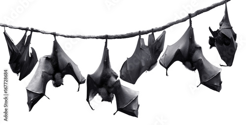 Fotografie, Obraz  Colony of bats hanging on vines isolated in white background