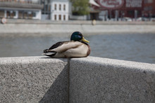 Male Duck Sitting Cement Wall ...