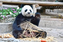Giant Panda Eating Bamboos At ...