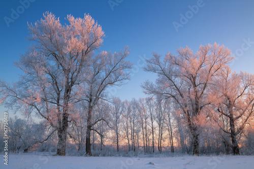 Foto op Plexiglas Purper small poplar grove frosty winter evening