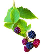 Bunch Of Blackberries. Blackbe...