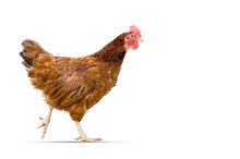 Brown Hen Isolated On White,Ch...