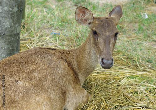 Staande foto Ree Deer sitting in the Zoo Thailand