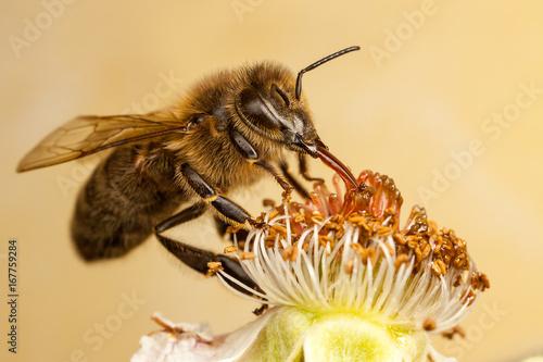 European Honey Bee, Apis mellifera Wallpaper Mural