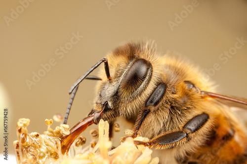 Recess Fitting Bee European Honey Bee, Apis mellifera