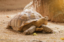 Sulcata Tortoise Is Walking Sl...