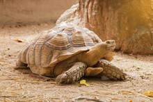 Sulcata Tortoise Is Walking Sl...