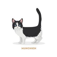 Isolated Munchkin Cat.