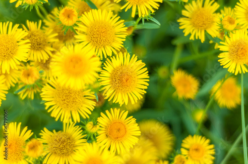 Keuken foto achterwand Paardebloem Yellow flowers