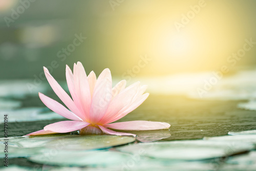 Montage in der Fensternische Wasserlilien Beautiful lotus flower in pond,The symbol of the Buddha, Thailand.