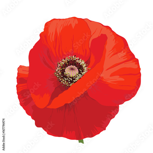 Poppy flower - Papaver rheas. Hand drawn illustration of a red poppy on transparent background.