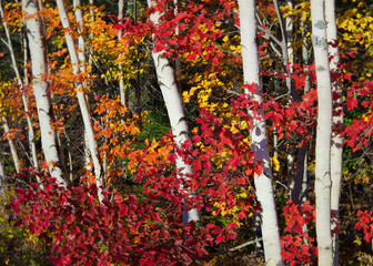 Fototapeta Las Birch and red maple in a deciduous forest.