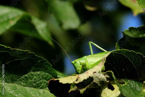 Fotografie, Obraz  Heuschrecke sitzt im Apfelbaum