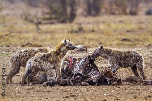 Poster Hyène Spotted hyaena in Kruger National park, South Africa