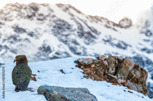 Papiers peints Nouvelle Zélande New Zealand Kea bird in snow mountains. It is the only alpine parrot in the word. Travel nature lifestyle.