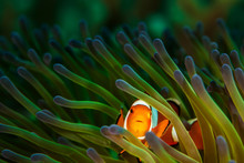 Clownfish In Green And Purple ...