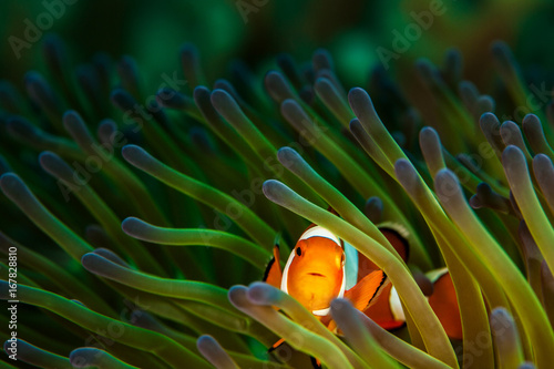 Obraz na plátne Clownfish in Green and Purple Anemone