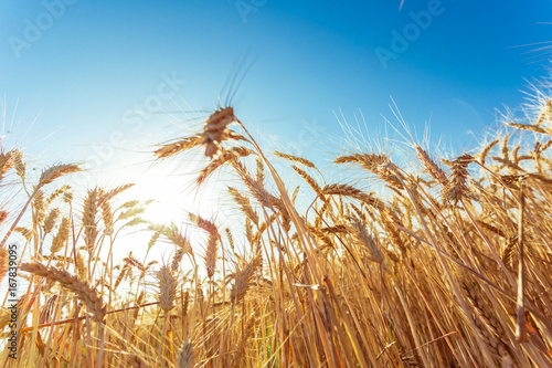 Fotobehang Aan het plafond golden wheat field and sunny day