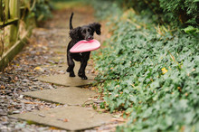 Puppy Runs Towards Camera Carrying A Frisbee
