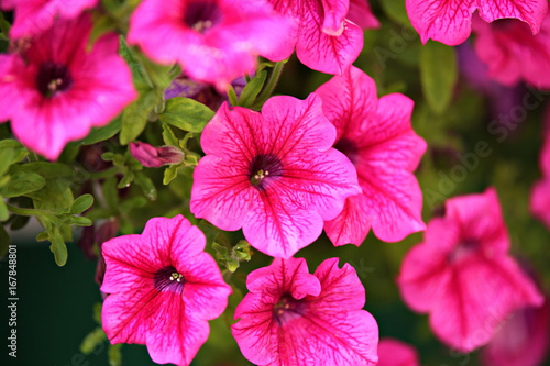 Foto op Plexiglas Roze Petunia background. Flowers fmacro on green spaces.