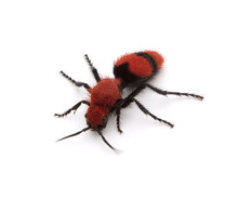 Female Velvet Ant On A White B...