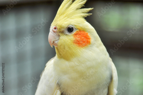 Cockatiel, Beautiful yellow parrot Canvas-taulu