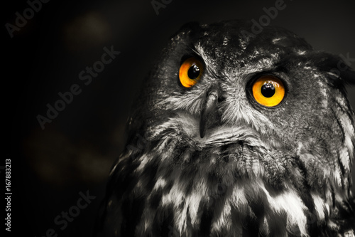Keuken foto achterwand Uil Portrait black and white Eurasian eagle-owl, owl