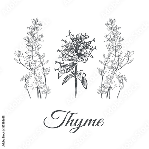 Fotografía  Thyme set. Collection of thyme vector illustration. Thyme sketch