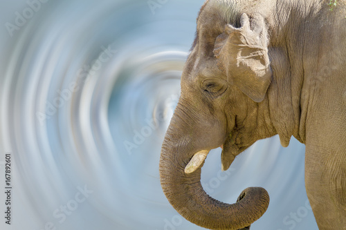 Fototapety, obrazy: head of a large animal elephant in the zoo