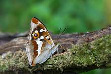 Purple Emperor Butterfly On A Branch