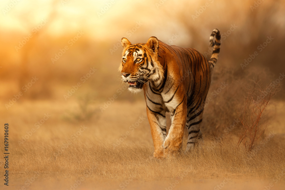 Fototapeta Great tiger male in the nature habitat. Tiger walk during the golden light time. Wildlife scene with danger animal. Hot summer in India. Dry area with beautiful indian tiger, Panthera tigris