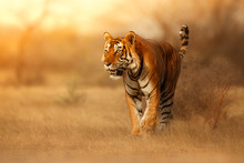Great Tiger Male In The Nature...