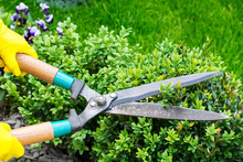 Landscape Design. Hand With Scissors, Cutting Of Bushes