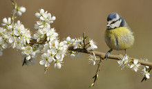 Blue Tit (Parus Caeruleus) Perched On Blossoming Twig. Wales, UK, April.