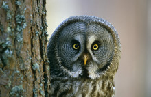 Close Up Of Great Gray Owl Beh...