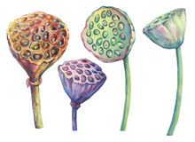 Set With Lotus Dried Seed Pod, Seed Head (water Lily, Indian Lotus, Sacred Lotus, Egyptian Lotus). Watercolor Hand Drawn Painting Illustration Isolated On White Background.