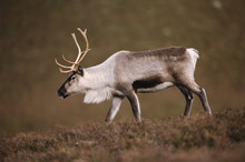 Reindeer (Rangifer Tarandus) Captive. Cairngorms, Scotland, UK.