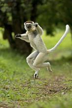 Verreaux Sifaka (Propithecus Verreauxi) Jumping ('dancing') Across Ground, Madagascar.