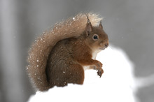 Portrait Of Red Squirrel In Snow