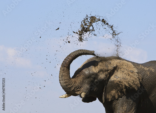 African elephant (Loxodonta africana) spraying mud to cool down, Etosha National Park, Namibia, June. Endangered species.